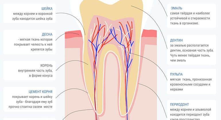 З чого складається зуб?